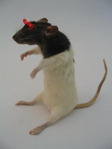 rat throwie